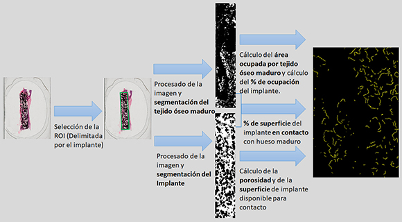 Procedimiento específico para la evaluación de la osteointegración de implantes y recubrimientos con estructura 3D porosa.